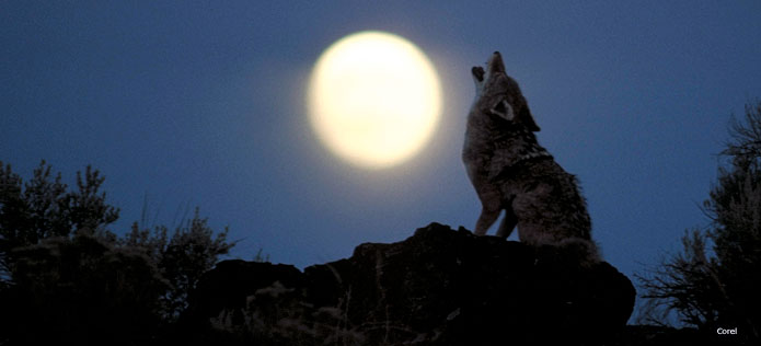 Customer Testimonials for Coyote Problem  Nite Guard