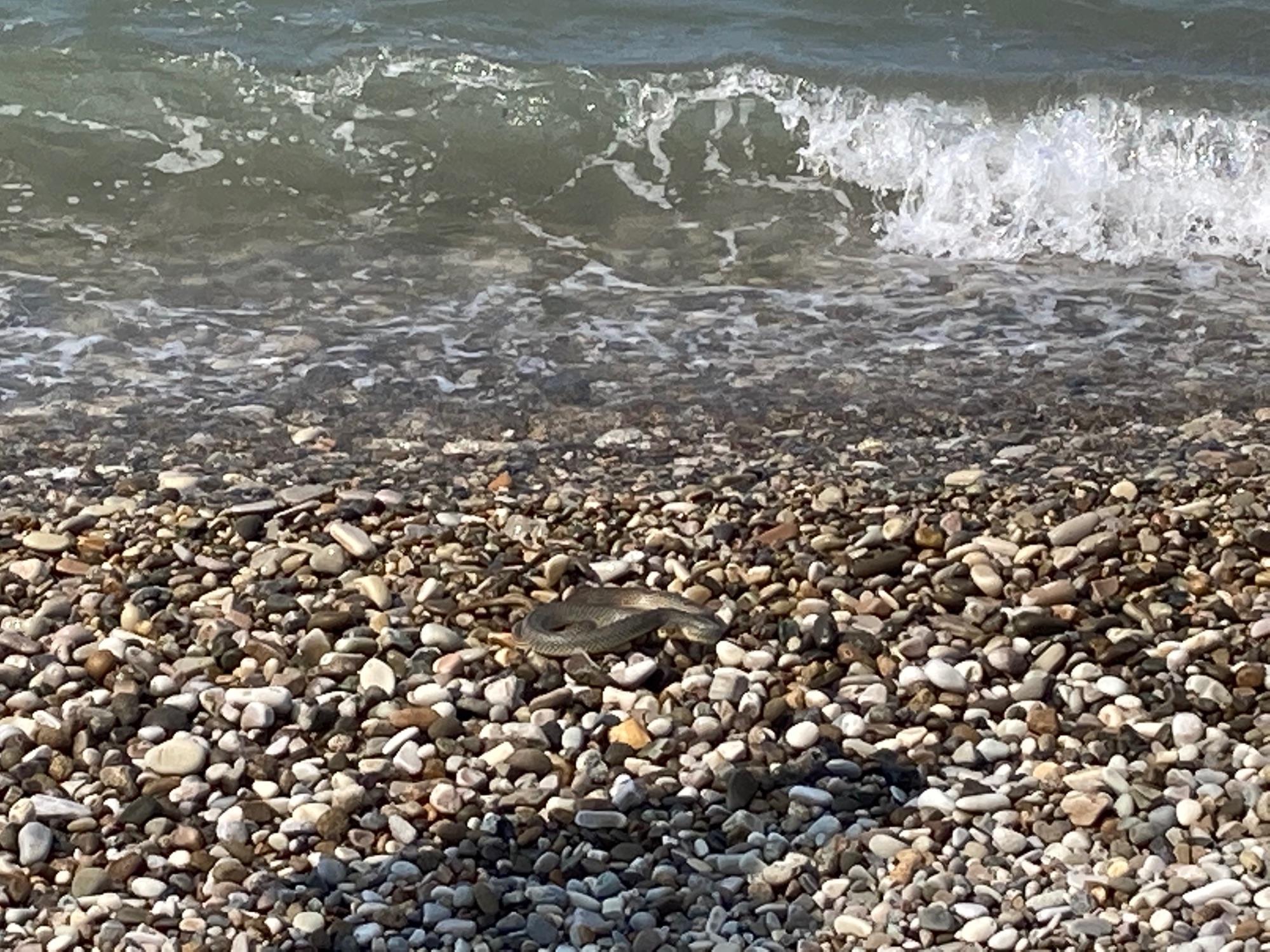 Что за змея?Не меньше метра в длину, уплыла с испугу в море. В воде бросилась на купающегося мужчину, который ее не видел, он на неё, все кончилось хорошо.Туапсе, городской пляж, 14.07.2021