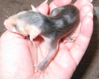 Palm Possum