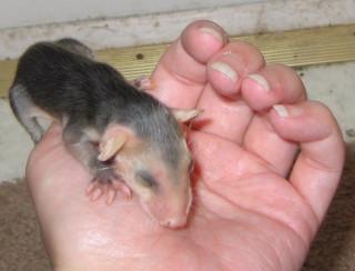 Palm Possum 2