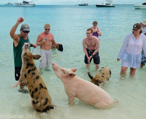 Свиньи в воде-18