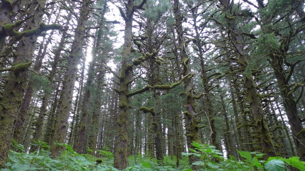 Кодьякский лес