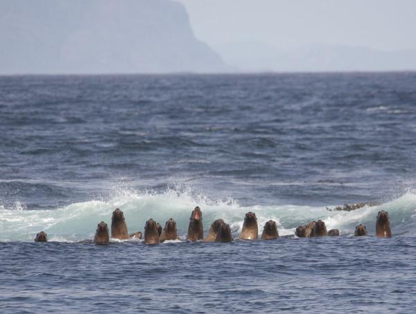 Фауна Алеутских островов