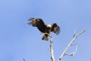 Орлан - символ Америки