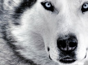 kto_silnee_volk_ili_sobaka