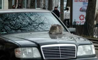 Cat on the Mercedes hood