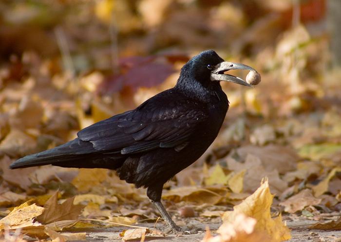 что клюют грачи осенью
