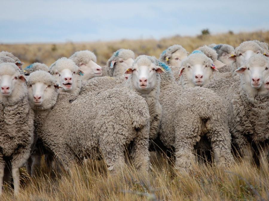 53ff6c38a5a7650f3959da11_sheep-patagonia-argentina-1024