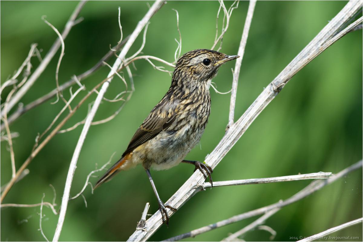 птицы самарской области фото и названия люлин рассказывал поддержке