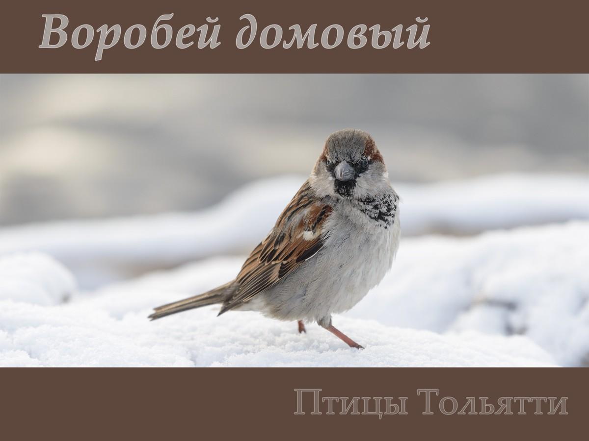 Птицы Тольятти