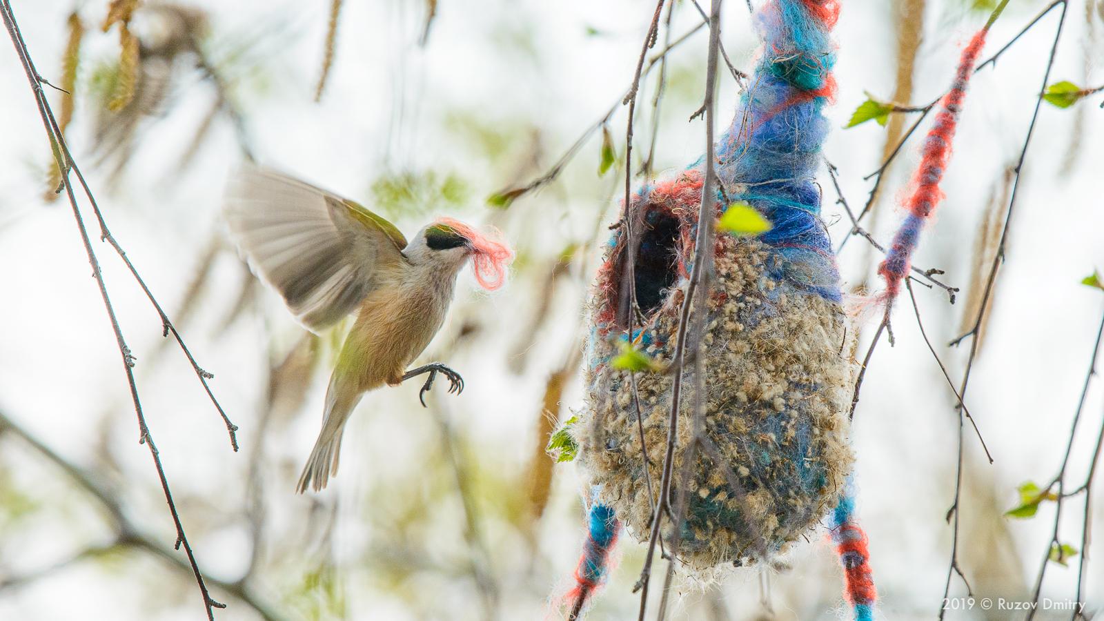 Самец ремеза обыкновенного строит гнездо с использованием цветной шерсти. Васильевские озера, Самарская область, май 2019 г.