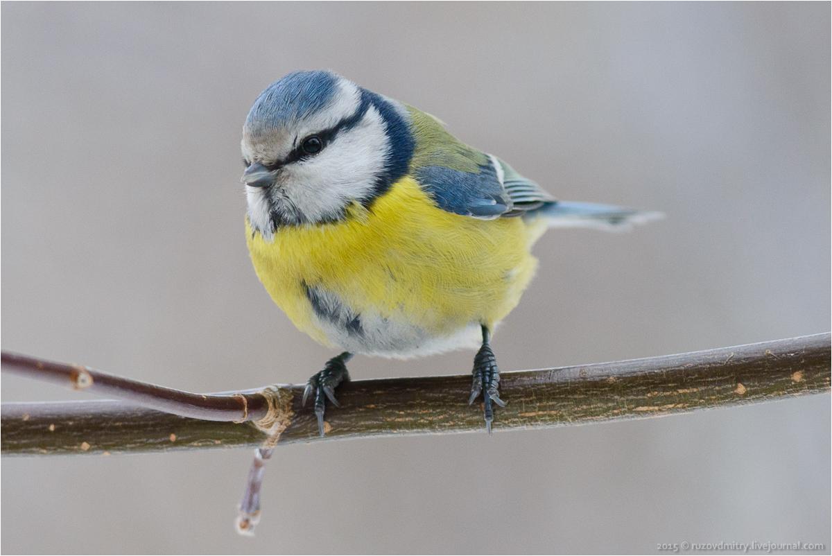 Варакушка птица фото и описание что
