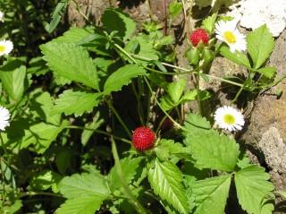 'Wild' strawberries
