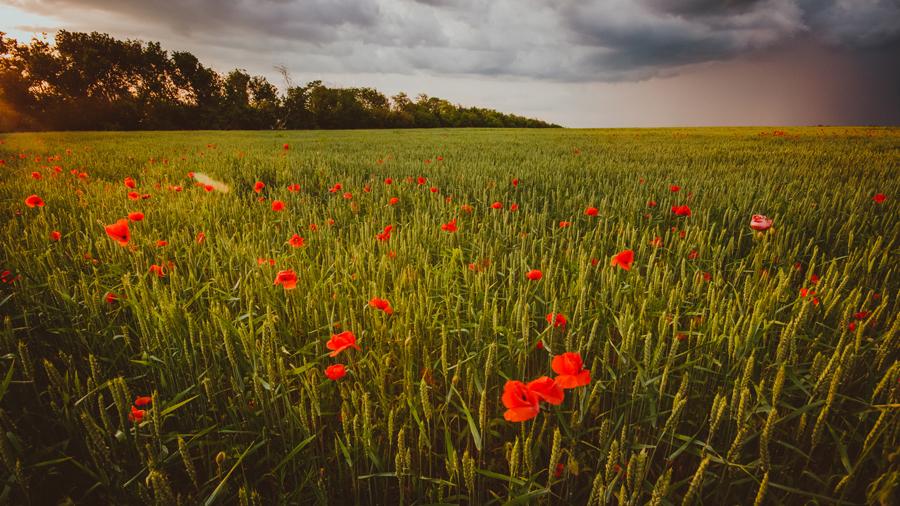 маки-в-пшенице_1