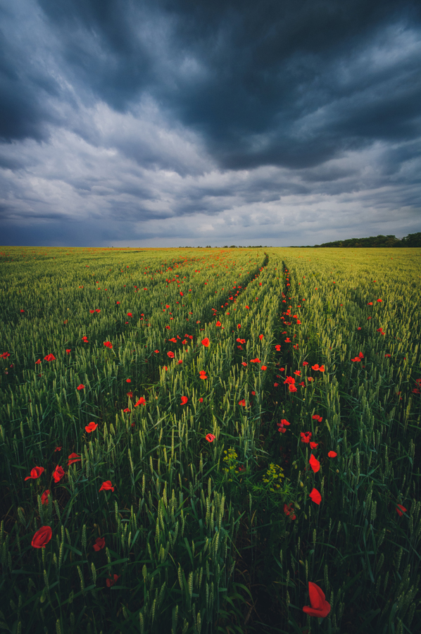 маки-в-пшенице_2