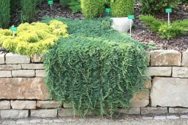 Juniperus horizontalis1