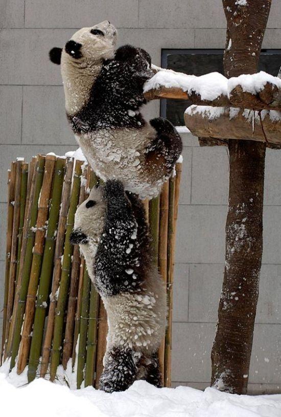 панды лезут вверх