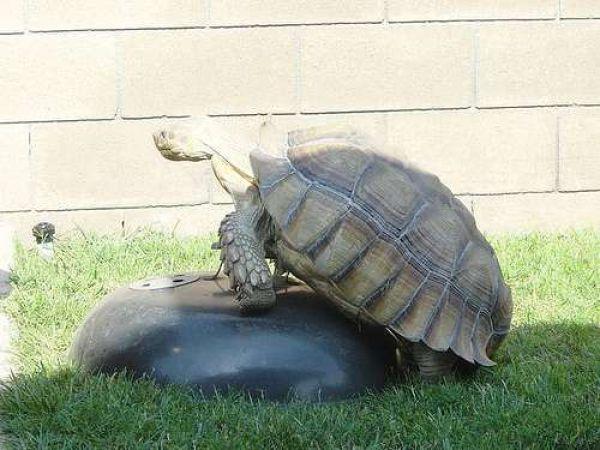 черепаха с камнем