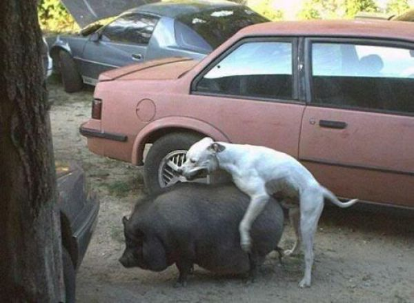 собака с кабаном