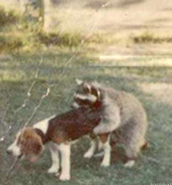 енот с собакой