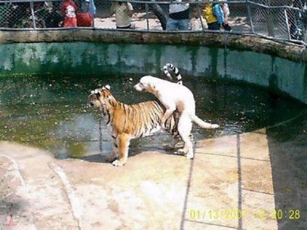 собака с тигром