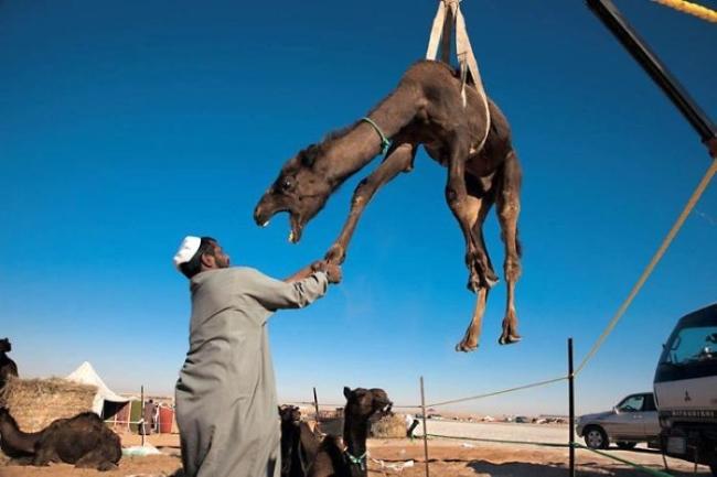 подъём верблюда подъёмным краном