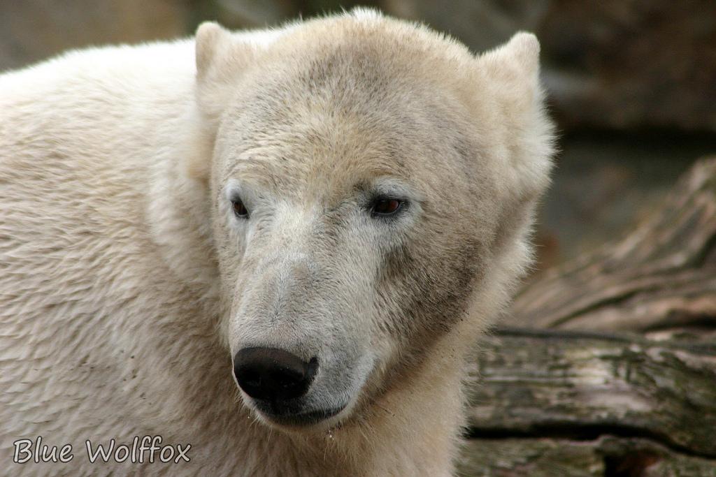 белый медведь кнут