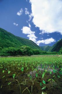 гавайский кофе плантация