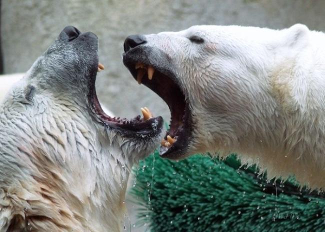 злой белый медведь