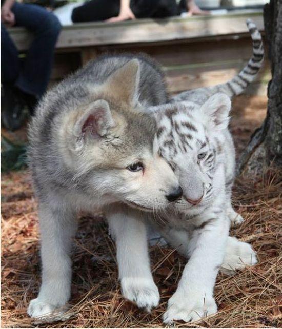 тигр и волк