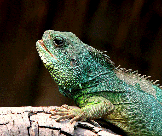 блог игуана фото iguana