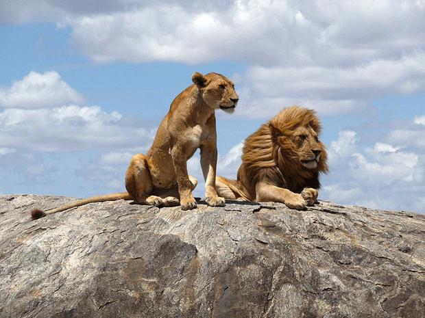 дикие львы блоггеры фото lions