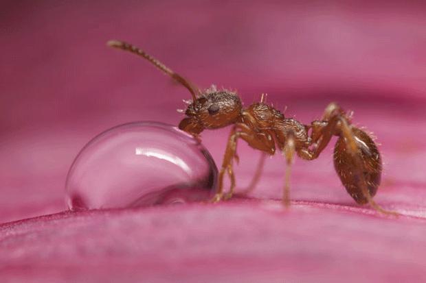 муравей блогер пьёт фото ant closeup