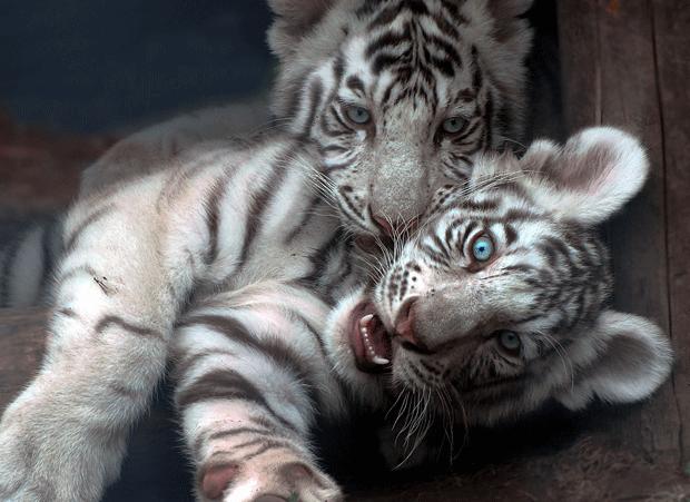 белые тигрята блогеры фото white tigers