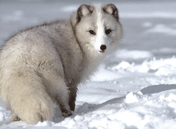 полярная лиса блогер фото arctic fox