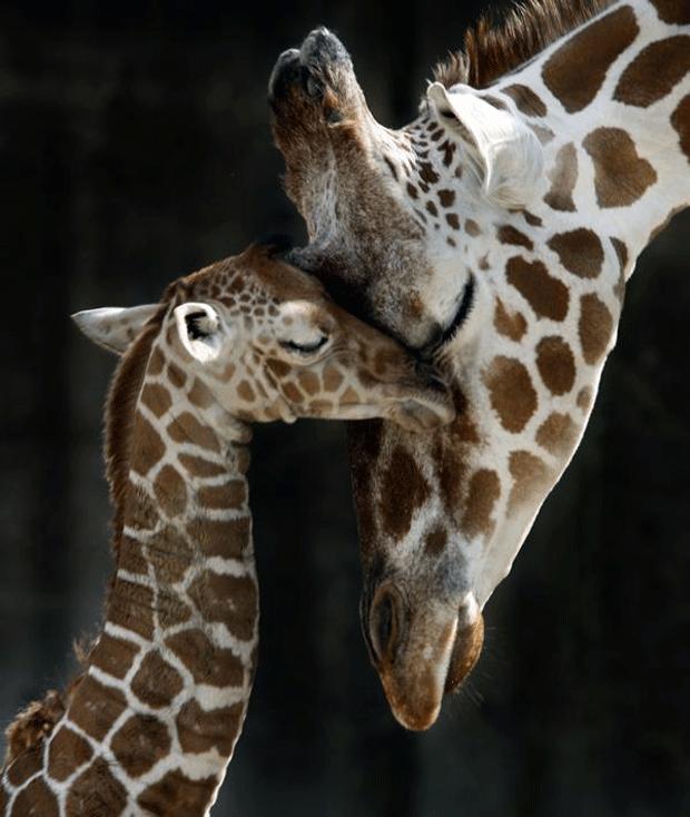 жирафы блогеры фото giraffe