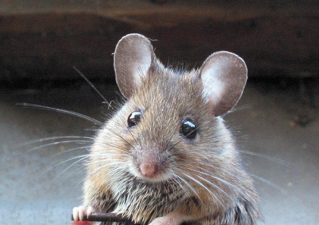 Как отучить мышь есть мармелад