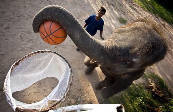 Слоны-баскетболисты