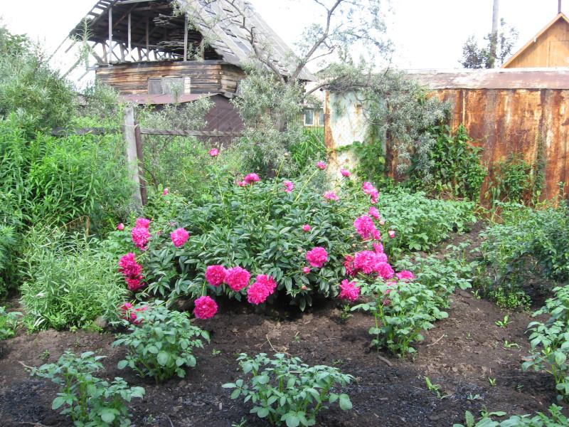 Цветы и картошка