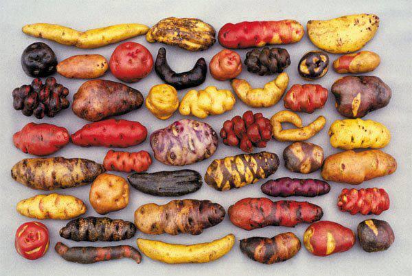 3800 разновидностей картофеля