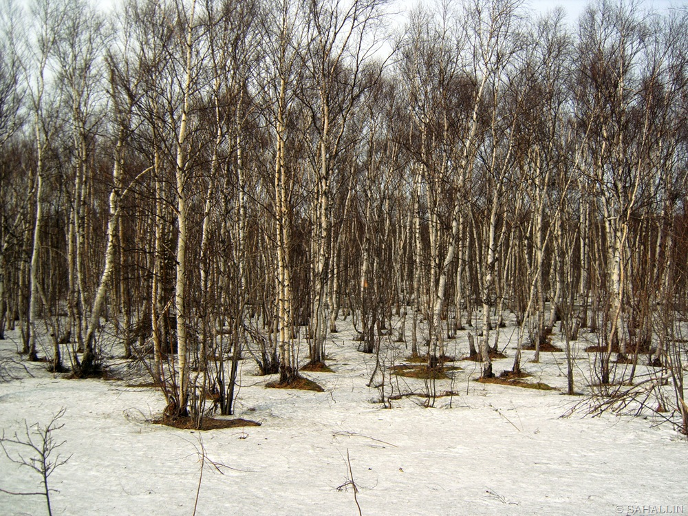 распознает сахалинская весна фото исполнения этих