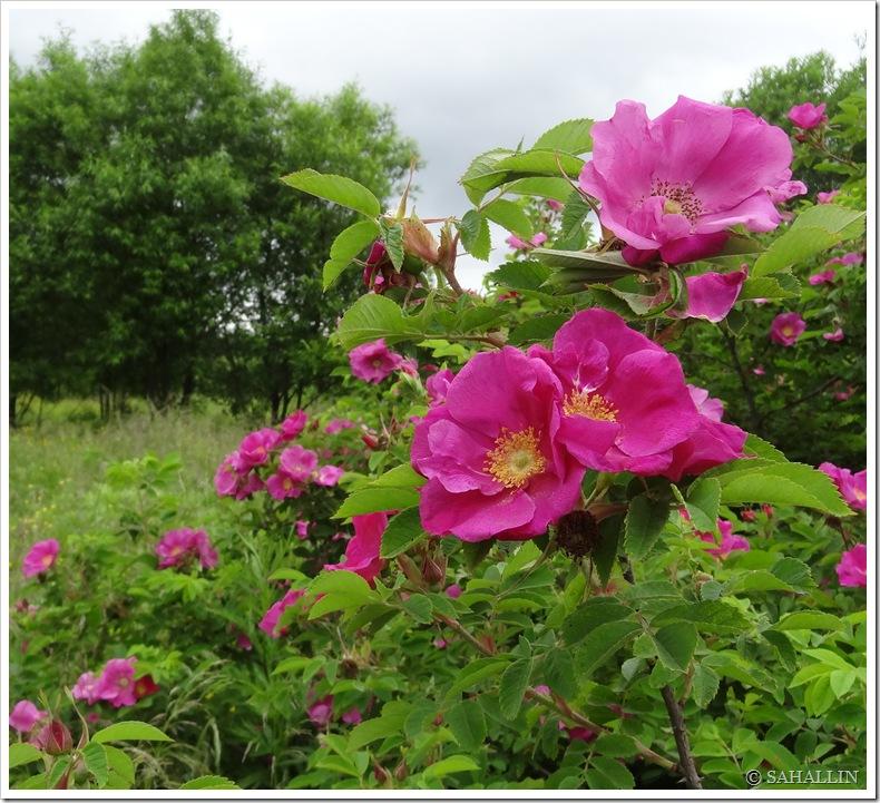 И в раю цветет шиповник