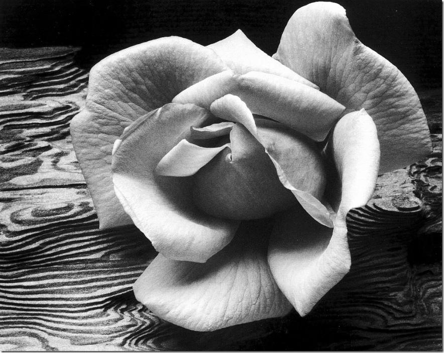 rose_and_driftwood   Ansel Adams,photo,sahallin,Ансел Адамс,фото