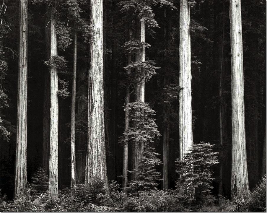 redwoods   Ansel Adams,photo,sahallin,Ансел Адамс,фото