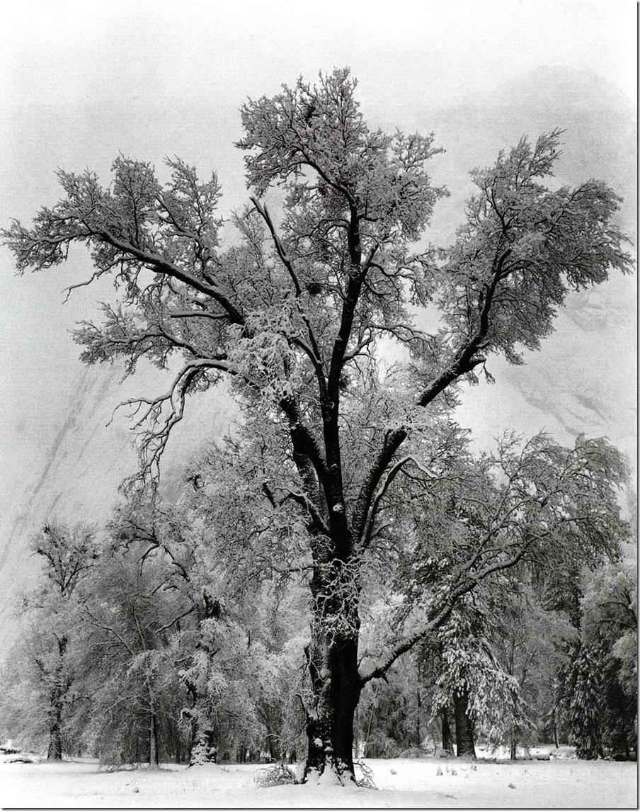 oak_tree   Ansel Adams,photo,sahallin,Ансел Адамс,фото