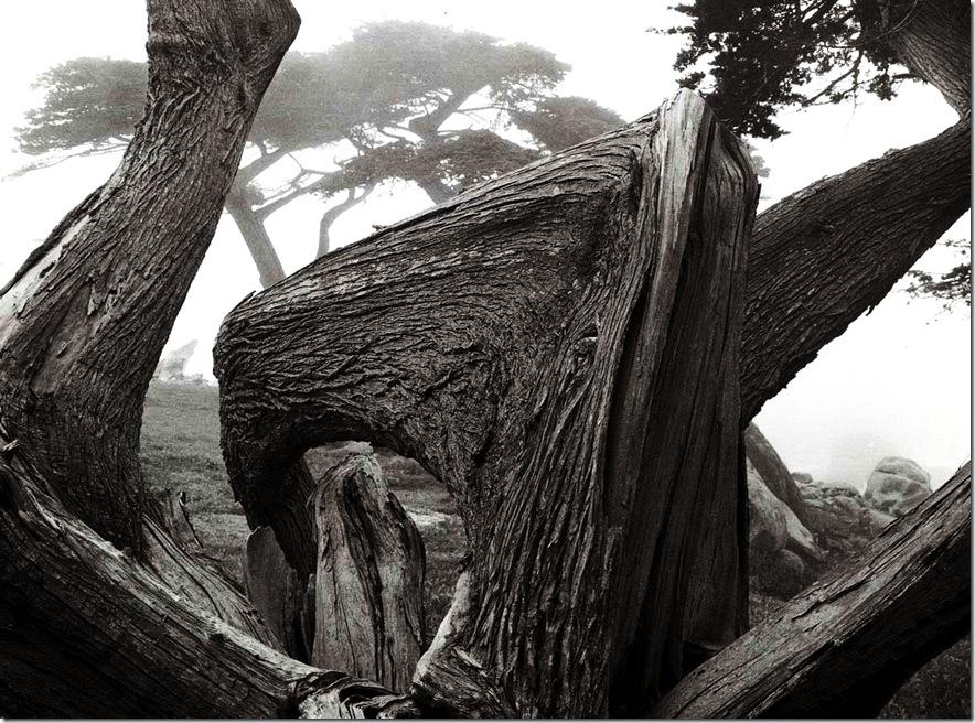 cypress_and_fog   Ansel Adams,photo,sahallin,Ансел Адамс,фото