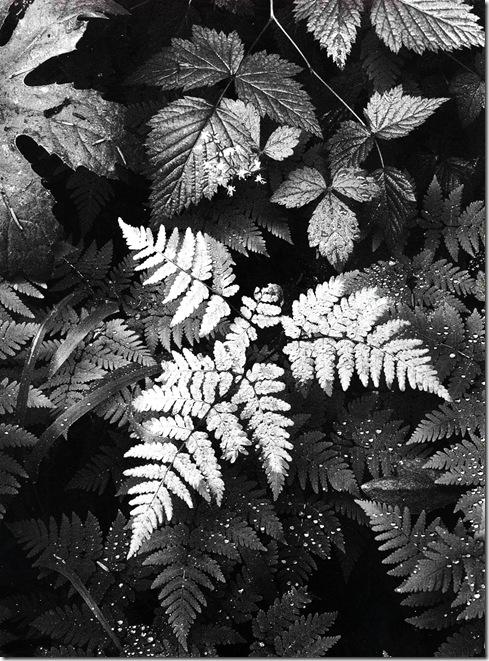 leaves  Ansel Adams,photo,sahallin,Ансел Адамс,фото