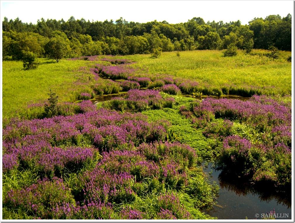 сахалин,фото,лето,август,цветы,ручей,вода,русалка,дербенник,обыкновенный,иволистный,sakhalin,photo