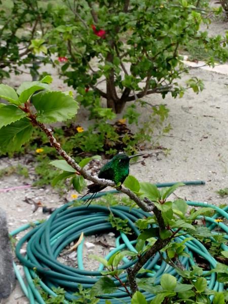 Кубинский колибри
