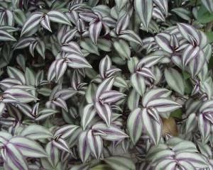 Зебрина пурпурная